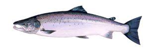 Atlantic-Salmon - Farbholzschnitt 20x70cm